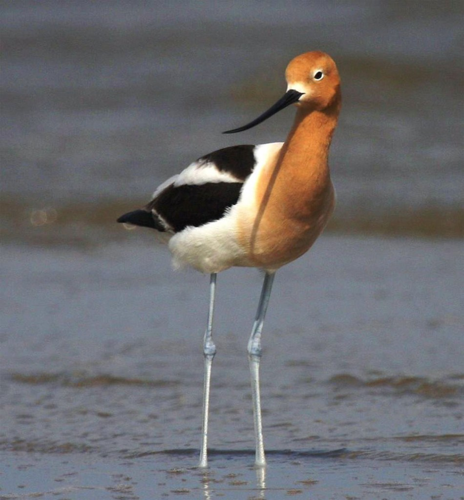 American Avocet. U.S. Shorebird Conservation Partnership.